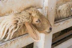 Exploração agrícola dos carneiros imagem de stock