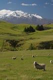 Exploração agrícola dos carneiros de Nova Zelândia Foto de Stock