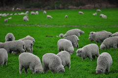Exploração agrícola dos carneiros em Nova Zelândia Imagens de Stock Royalty Free