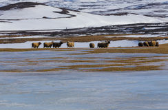 A exploração agrícola dos carneiros no inverno com neve da montanha coved Imagem de Stock