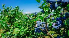 Exploração agrícola dos mirtilos em Burlington, Washington imagem de stock