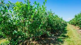 Exploração agrícola dos mirtilos em Burlington, Washington fotografia de stock