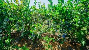 Exploração agrícola dos mirtilos em Burlington, Washington imagem de stock royalty free