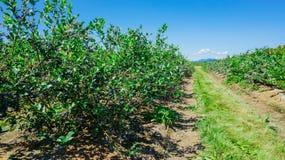 Exploração agrícola dos mirtilos em Burlington, Washington imagens de stock