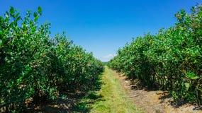 Exploração agrícola dos mirtilos em Burlington, Washington fotos de stock royalty free