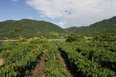 Exploração agrícola dos pimentões Fotografia de Stock