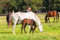 Exploração agrícola dos potros dos cavalos Foto de Stock