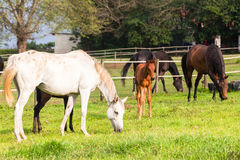 Exploração agrícola dos potros dos cavalos Imagens de Stock Royalty Free