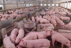 Exploração agrícola dos suínos com porco e leitão da mãe imagens de stock