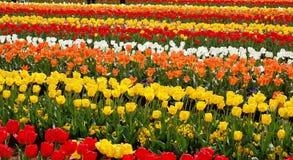 Exploração agrícola dos Tulips Fotografia de Stock