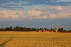 Exploração agrícola dourada (ao norte de Toronto) Foto de Stock
