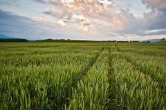 Exploração agrícola e Cloudscape do trigo Fotos de Stock Royalty Free