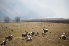 Exploração agrícola e montanhas dos carneiros na manhã Imagem de Stock