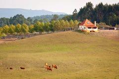 Exploração agrícola e vacas fotografia de stock royalty free