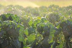 Exploração agrícola em Victoria, Austrália da couve-de-Bruxelas Imagem de Stock Royalty Free
