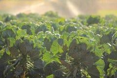 Exploração agrícola em Victoria, Austrália da couve-de-Bruxelas Fotografia de Stock Royalty Free