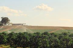 Exploração agrícola em Victoria, Austrália da couve-de-Bruxelas Fotografia de Stock