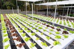 Exploração agrícola hidropónica Fotos de Stock