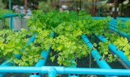 Exploração agrícola hidropônica do aipo na tubulação do PVC Imagens de Stock Royalty Free