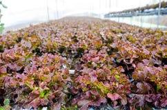 Exploração agrícola hidropônica da alface Foto de Stock