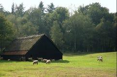 Exploração agrícola holandesa velha dos carneiros fotografia de stock