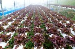 Exploração agrícola hydrophonic da alface Imagem de Stock Royalty Free