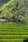 Exploração agrícola japonesa do chá na montanha Fotografia de Stock Royalty Free