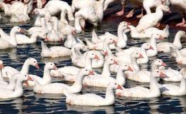 Exploração agrícola livre dos gansos da escala imagem de stock