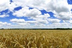 Exploração agrícola - macro do trigo Foto de Stock