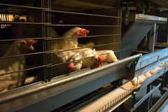 Exploração agrícola moderna da gaiola de galinha Fotos de Stock Royalty Free