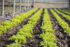 Exploração agrícola moderna para a alface crescente fotos de stock royalty free