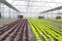 Exploração agrícola moderna para a alface crescente imagem de stock