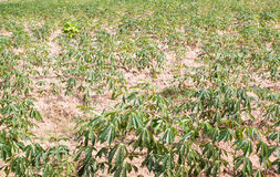 Exploração agrícola na zona tropical, Tailândia da mandioca Foto de Stock