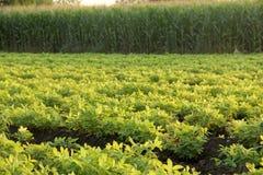 Exploração agrícola Nuts à terra Fotos de Stock