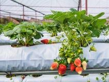A exploração agrícola orgânica da morango Imagens de Stock