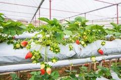 A exploração agrícola orgânica da morango Foto de Stock Royalty Free