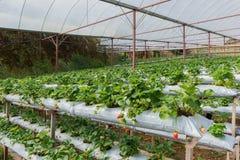 A exploração agrícola orgânica da morango Fotos de Stock Royalty Free