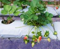 A exploração agrícola orgânica da morango Imagens de Stock Royalty Free