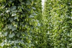 Exploração agrícola orgânica dos lúpulos para a cerveja da fabricação de cerveja fotografia de stock