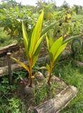 Exploração agrícola orgânica dos seedlings do coco Fotografia de Stock Royalty Free