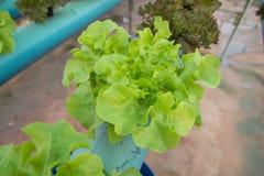 Exploração agrícola orgânica dos vegetais da alface Fotos de Stock