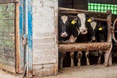 Exploração agrícola para a criação de animais de gado foto de stock royalty free