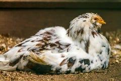 Exploração agrícola rural Galinhas decorativas na jarda das aves domésticas Na plumagem colorida foto de stock royalty free
