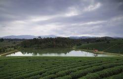 Exploração agrícola Tailândia do chá do fong de Choui Imagens de Stock Royalty Free