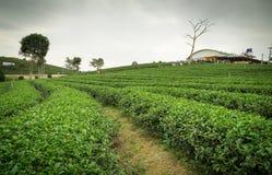Exploração agrícola Tailândia do chá do fong de Choui Imagem de Stock Royalty Free