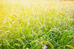 Exploração agrícola tailandesa Imagens de Stock Royalty Free