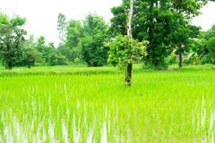 Exploração agrícola tailandesa da planta de arroz fotos de stock