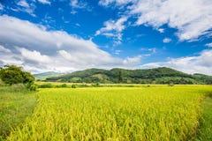 Exploração agrícola tailandesa do arroz Fotografia de Stock