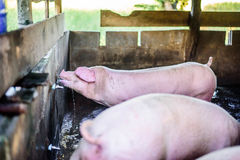 Exploração agrícola tailandesa, os porcos da exploração agrícola, porco do olho do foco Foto de Stock Royalty Free