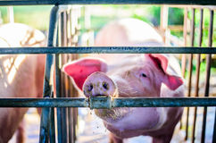 Exploração agrícola tailandesa, os porcos da exploração agrícola, porco do olho do foco Fotos de Stock